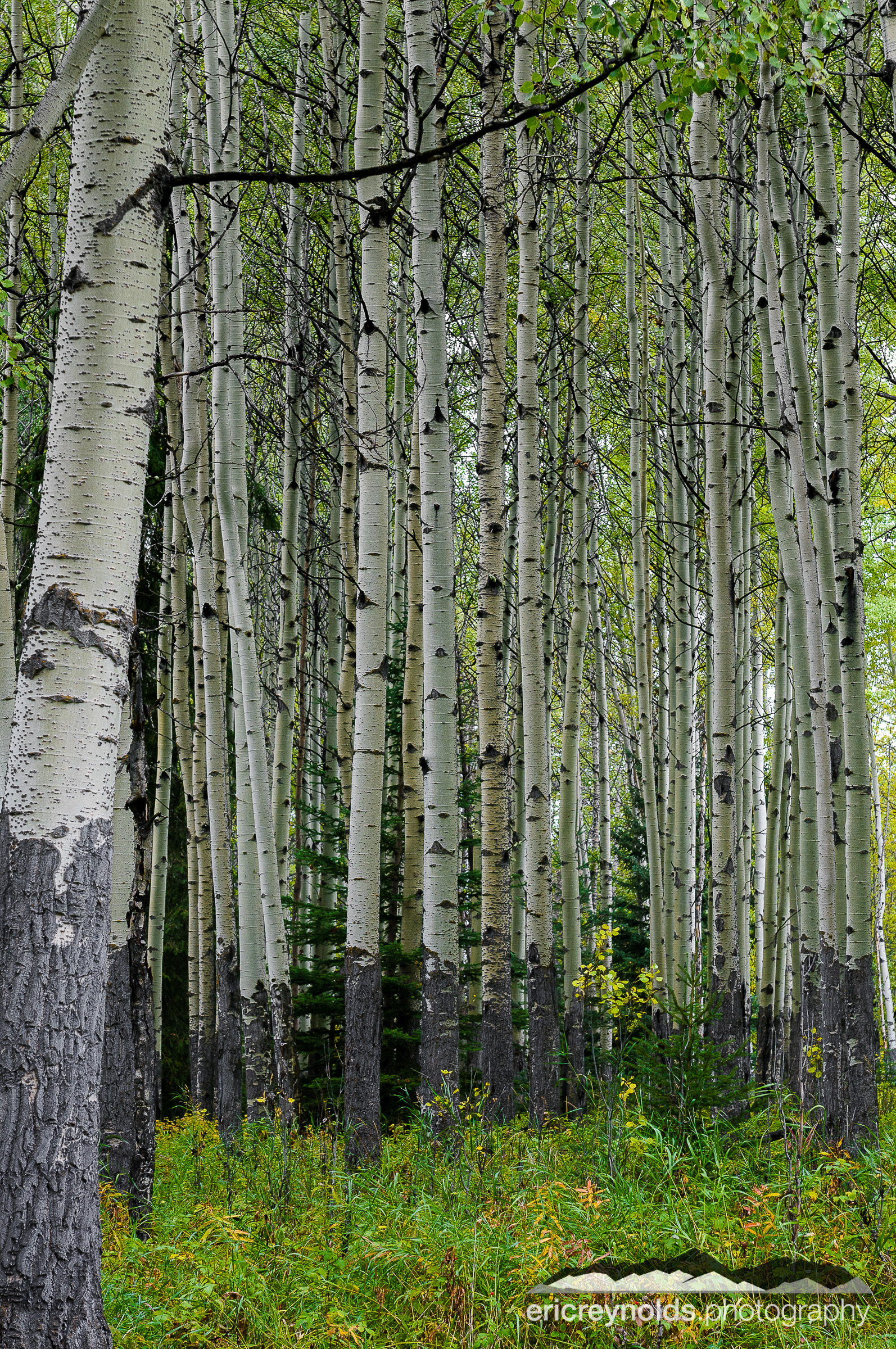 Aspen Grove by Eric Reynolds - Landscape Photographer