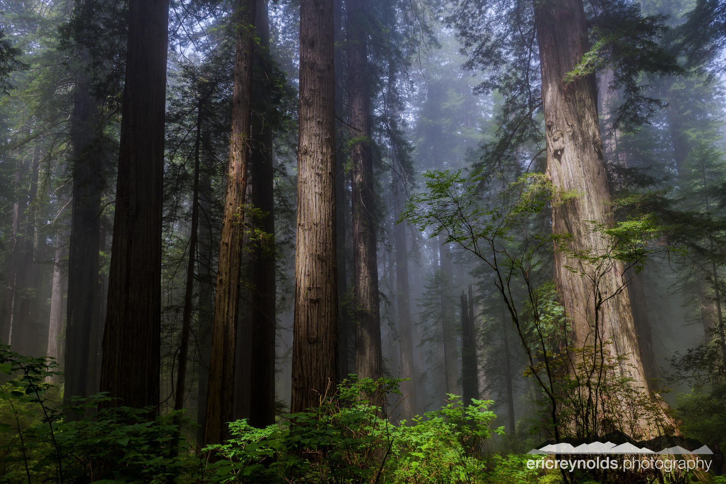 Giants of the Redwoods by Eric Reynolds - Landscape Photographer